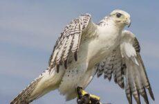 Кречет птица. Описание, особенности, виды, образ жизни и среда обитания кречета