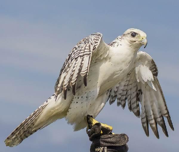Кречет-птица-Описание-особенности-виды-образ-жизни-и-среда-обитания-кречета-1