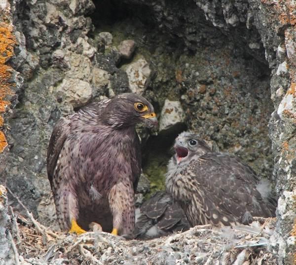 Кречет-птица-Описание-особенности-виды-образ-жизни-и-среда-обитания-кречета-11