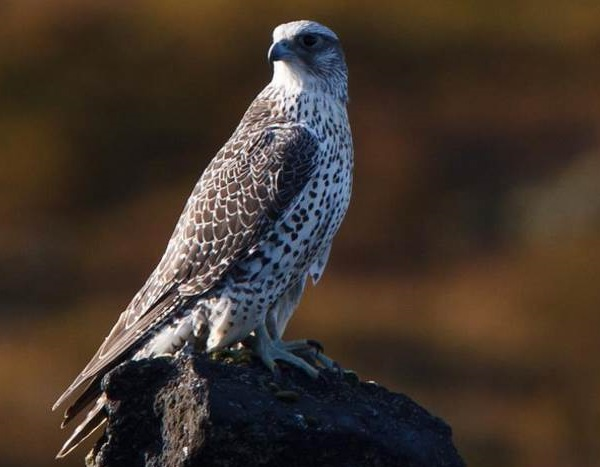 Кречет-птица-Описание-особенности-виды-образ-жизни-и-среда-обитания-кречета-14