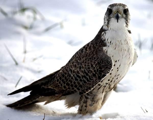 Кречет-птица-Описание-особенности-виды-образ-жизни-и-среда-обитания-кречета-2