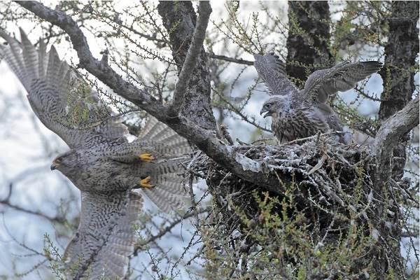 Кречет-птица-Описание-особенности-виды-образ-жизни-и-среда-обитания-кречета-3