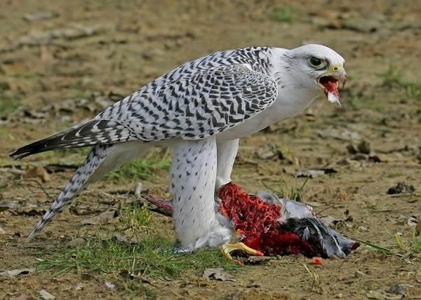 Кречет-птица-Описание-особенности-виды-образ-жизни-и-среда-обитания-кречета-4