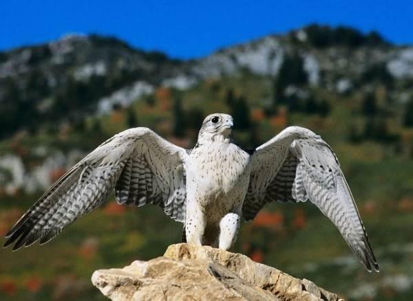 Кречет-птица-Описание-особенности-виды-образ-жизни-и-среда-обитания-кречета-5