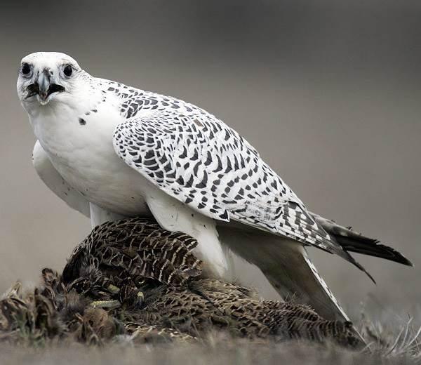 Кречет-птица-Описание-особенности-виды-образ-жизни-и-среда-обитания-кречета-7
