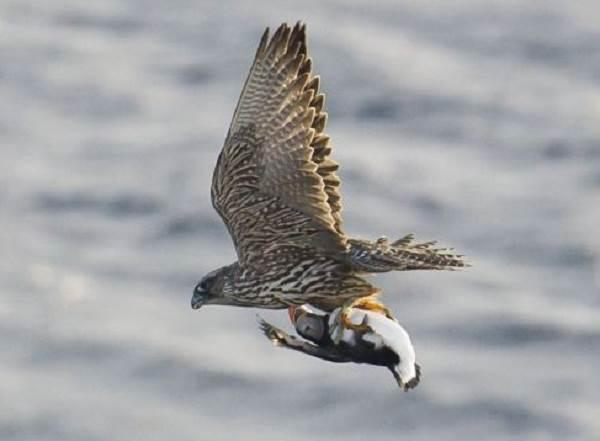 Кречет-птица-Описание-особенности-виды-образ-жизни-и-среда-обитания-кречета-8