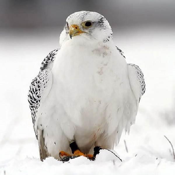 Кречет-птица-Описание-особенности-виды-образ-жизни-и-среда-обитания-кречета-9