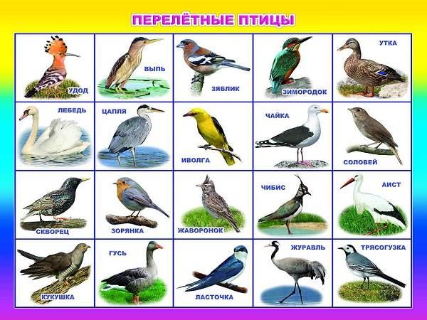 Перелётные-птицы-Описания-виды-и-названия-перелётных-птиц-1