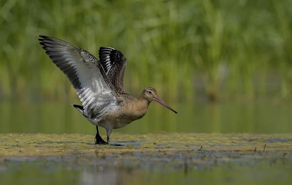 Перелётные-птицы-Описания-виды-и-названия-перелётных-птиц-11