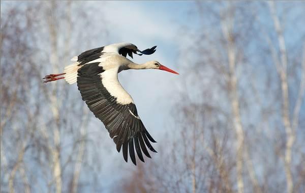 Перелётные-птицы-Описания-виды-и-названия-перелётных-птиц-15