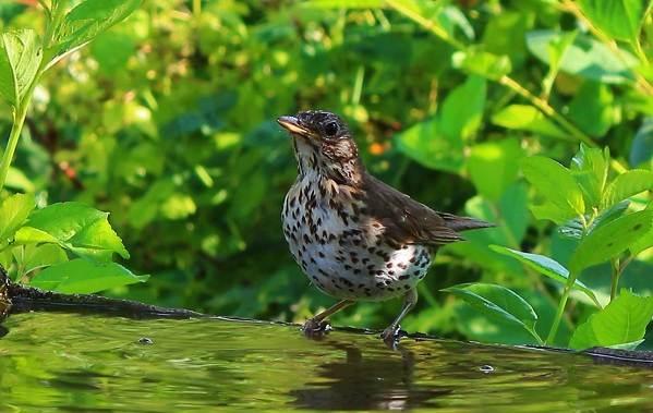 Перелётные-птицы-Описания-виды-и-названия-перелётных-птиц-16