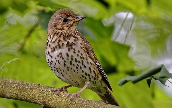 Перелётные-птицы-Описания-виды-и-названия-перелётных-птиц-17