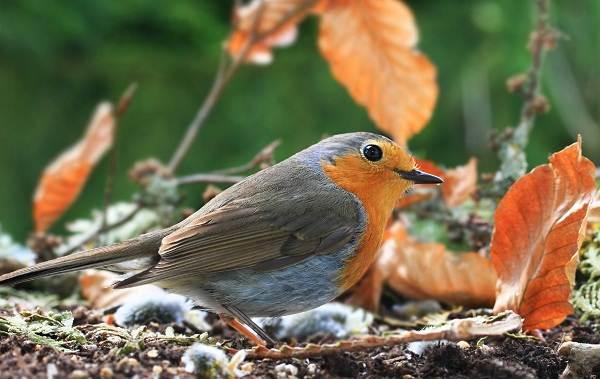 Перелётные-птицы-Описания-виды-и-названия-перелётных-птиц-18
