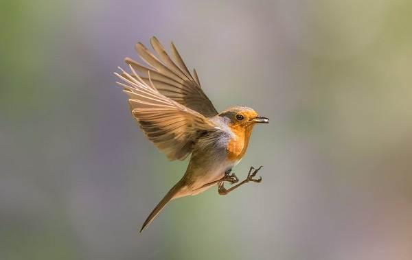 Перелётные-птицы-Описания-виды-и-названия-перелётных-птиц-19