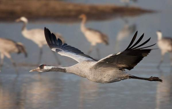 Перелётные-птицы-Описания-виды-и-названия-перелётных-птиц-2
