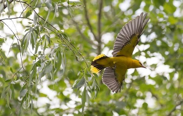 Перелётные-птицы-Описания-виды-и-названия-перелётных-птиц-20