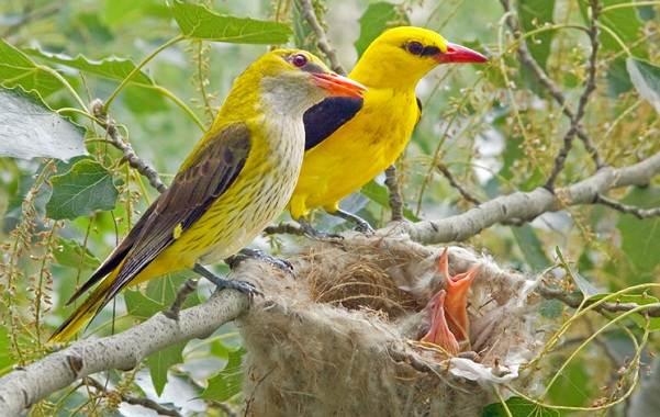 Перелётные-птицы-Описания-виды-и-названия-перелётных-птиц-21