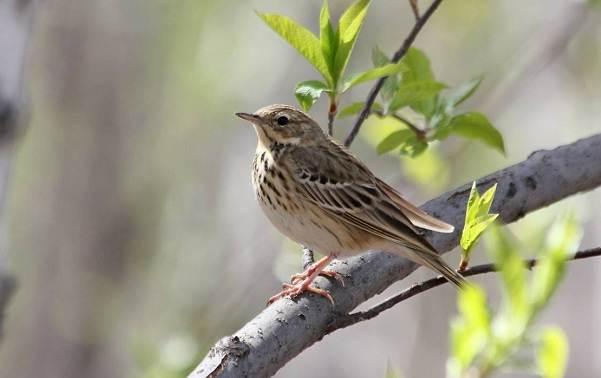Перелётные-птицы-Описания-виды-и-названия-перелётных-птиц-22
