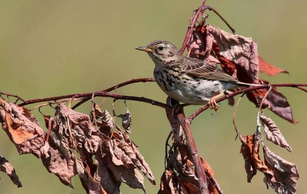 Перелётные-птицы-Описания-виды-и-названия-перелётных-птиц-23