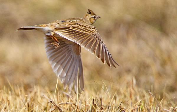 Перелётные-птицы-Описания-виды-и-названия-перелётных-птиц-24