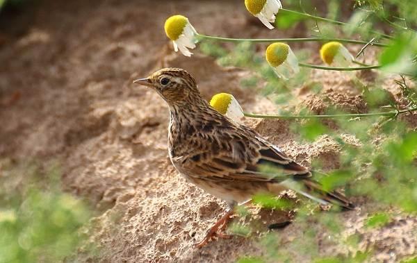 Перелётные-птицы-Описания-виды-и-названия-перелётных-птиц-25