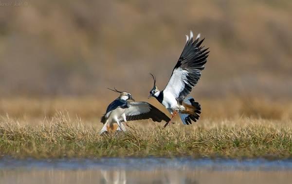Перелётные-птицы-Описания-виды-и-названия-перелётных-птиц-26