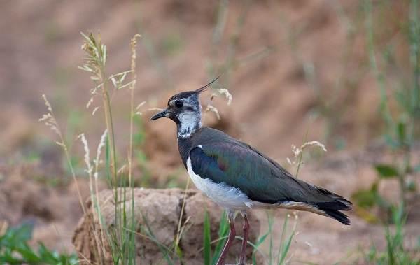 Перелётные-птицы-Описания-виды-и-названия-перелётных-птиц-27