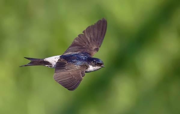 Перелётные-птицы-Описания-виды-и-названия-перелётных-птиц-29