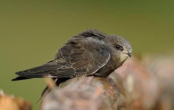Перелётные-птицы-Описания-виды-и-названия-перелётных-птиц-33