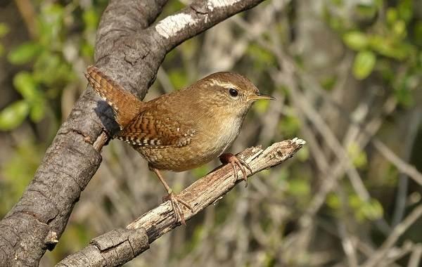 Перелётные-птицы-Описания-виды-и-названия-перелётных-птиц-34