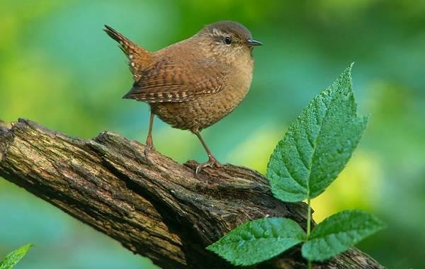 Перелётные-птицы-Описания-виды-и-названия-перелётных-птиц-35