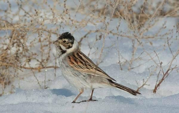 Перелётные-птицы-Описания-виды-и-названия-перелётных-птиц-36