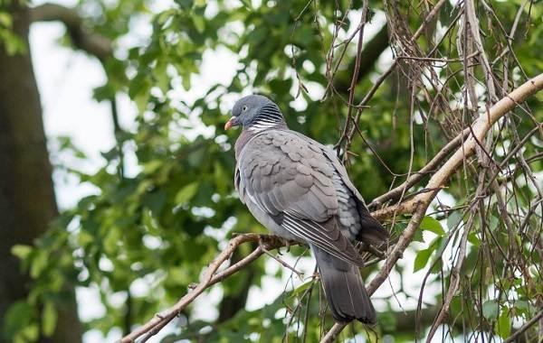 Перелётные-птицы-Описания-виды-и-названия-перелётных-птиц-39