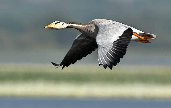 Перелётные-птицы-Описания-виды-и-названия-перелётных-птиц-4