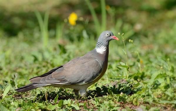 Перелётные-птицы-Описания-виды-и-названия-перелётных-птиц-40