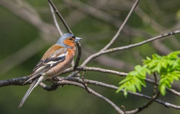 Перелётные-птицы-Описания-виды-и-названия-перелётных-птиц-41