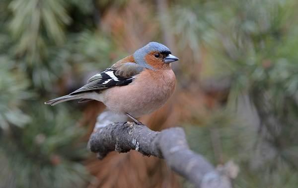 Перелётные-птицы-Описания-виды-и-названия-перелётных-птиц-42