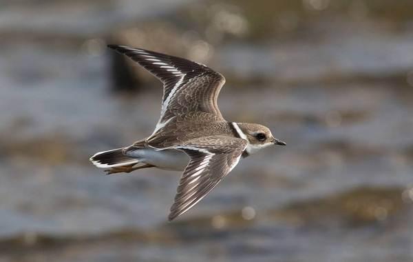 Перелётные-птицы-Описания-виды-и-названия-перелётных-птиц-43
