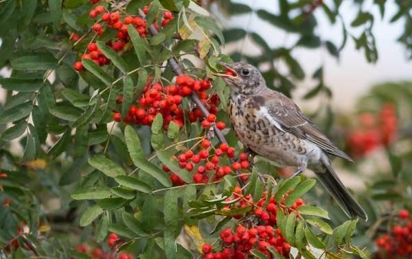 Перелётные-птицы-Описания-виды-и-названия-перелётных-птиц-45