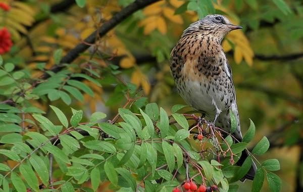 Перелётные-птицы-Описания-виды-и-названия-перелётных-птиц-46