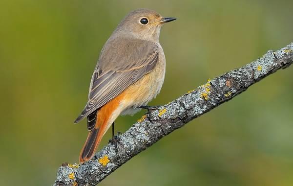 Перелётные-птицы-Описания-виды-и-названия-перелётных-птиц-47