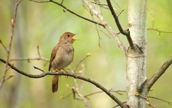 Перелётные-птицы-Описания-виды-и-названия-перелётных-птиц-49