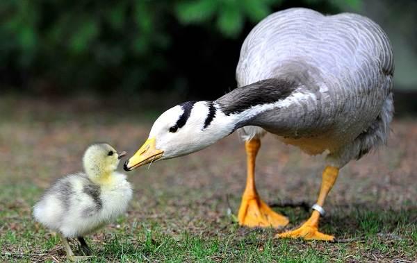 Перелётные-птицы-Описания-виды-и-названия-перелётных-птиц-5