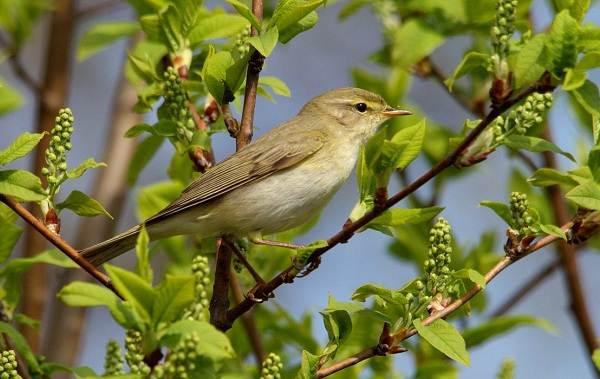 Перелётные-птицы-Описания-виды-и-названия-перелётных-птиц-52