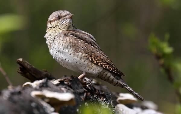 Перелётные-птицы-Описания-виды-и-названия-перелётных-птиц-53