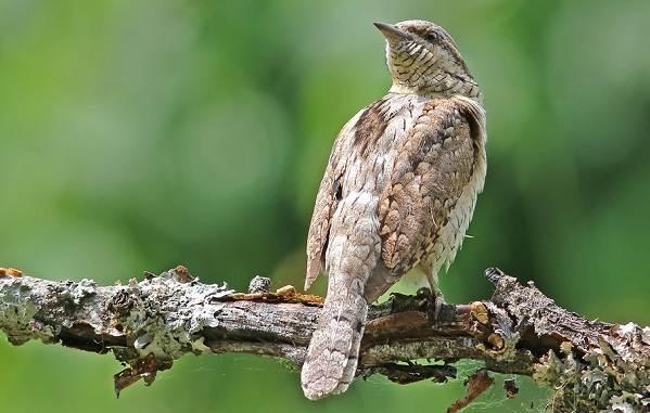 Перелётные-птицы-Описания-виды-и-названия-перелётных-птиц-54