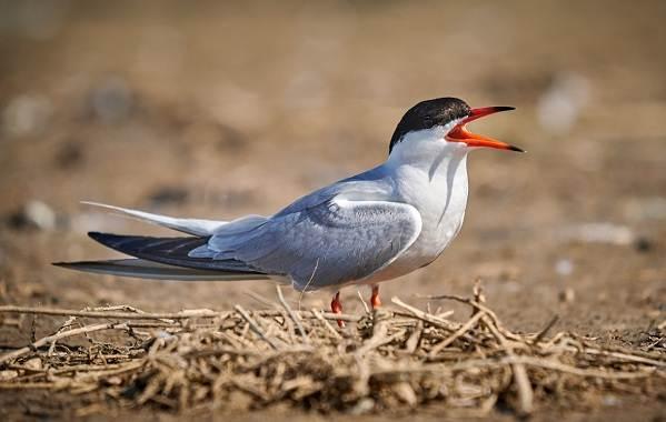 Перелётные-птицы-Описания-виды-и-названия-перелётных-птиц-58