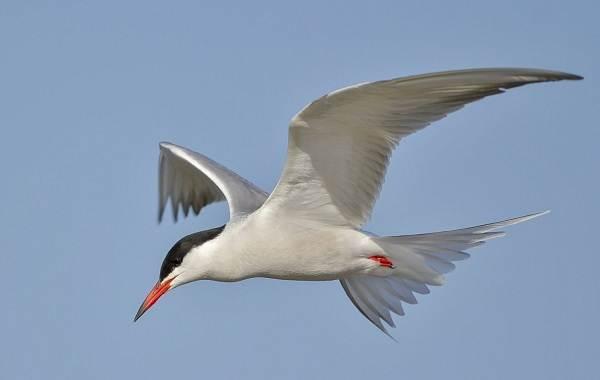 Перелётные-птицы-Описания-виды-и-названия-перелётных-птиц-59