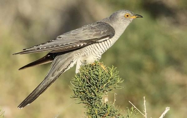 Перелётные-птицы-Описания-виды-и-названия-перелётных-птиц-60