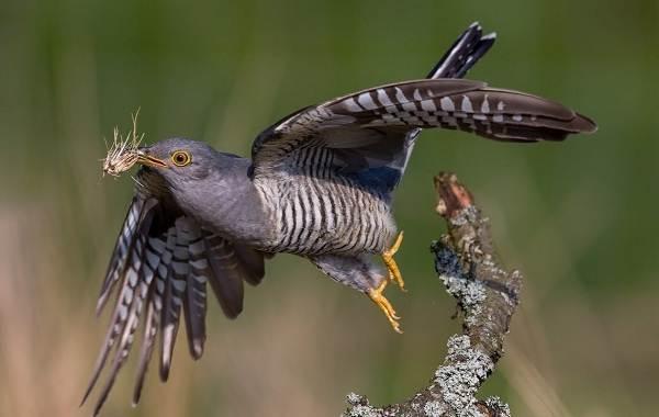 Перелётные-птицы-Описания-виды-и-названия-перелётных-птиц-61